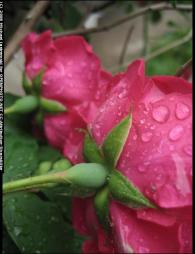 rainroses.jpg